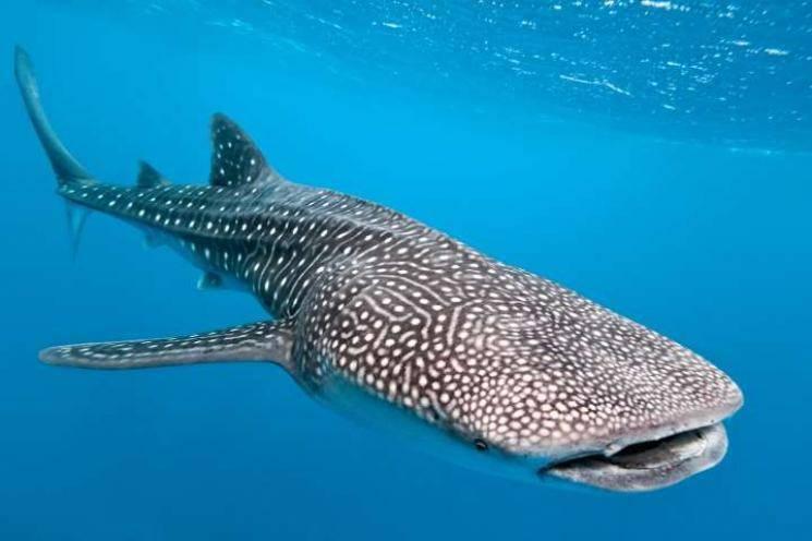 Kerala fishermen release endangered whaleshark, Twitter is melting - Daily news