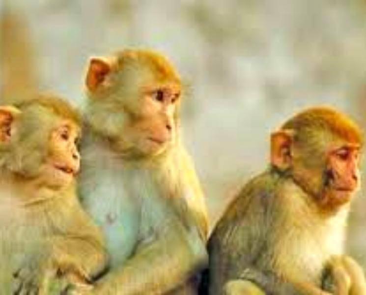 தடுப்பூசி போடப்பட்ட 6 குரங்குகளுக்கு கொரோனா தொற்று! - Daily news