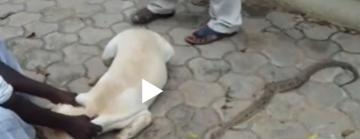 Dog save Owner from Snake