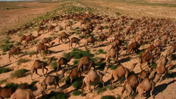 Australia government orders killing of 10000 camels