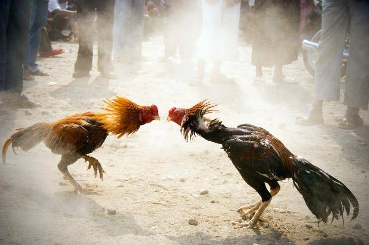 Plea request for permitting Rooster fights like   Jallikattu