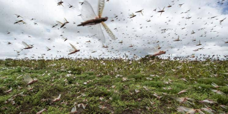 Pakistan declares national emergency for locusts