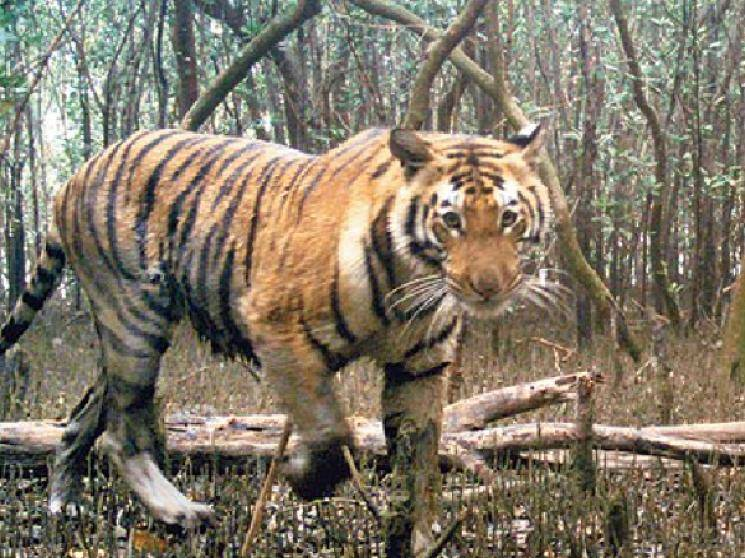 Tiger population increases in Sundarbans after COVID lockdown