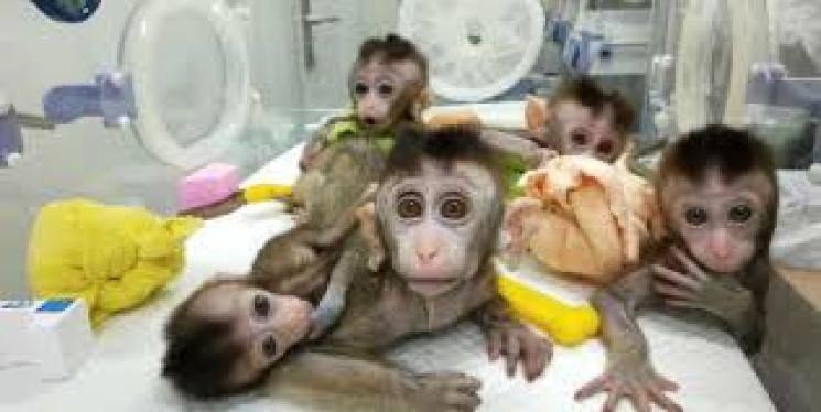 Coronavirus infection for 6 monkeys vaccinated
