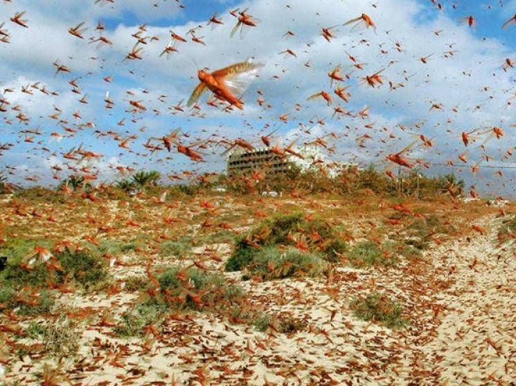 Telangana on high alert due to locust swarms