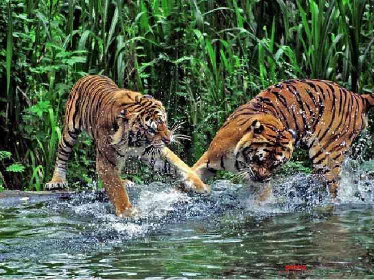 Tiger population increases in Sundarbans after COVID lockdown - Tamil Movie Cinema News