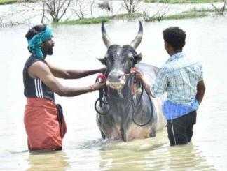 காளையுடன் கம்பீரமாக வீதியுலா சென்ற நடிகர் சூரி !-