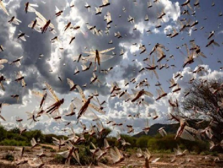 Telangana moves into high alert due to locust attack risk!